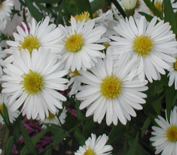 Aster_novi-belgii_White_Ladies_priola