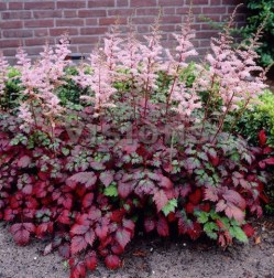 Astilbe Color flasch