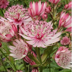 Astrantia major Sparklng Stars Pink