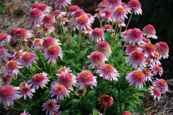 Echinacea Butterfly Kisses