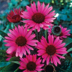 Echinacea Fatal Atraction