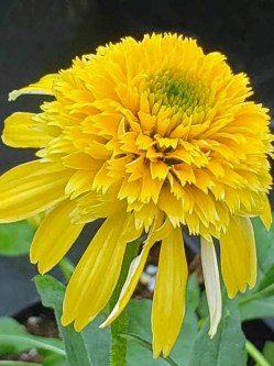 Echinacea Lemon Drop