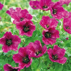 Geranium Purple pillow