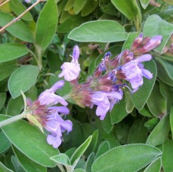 Salvia-officinalis-L