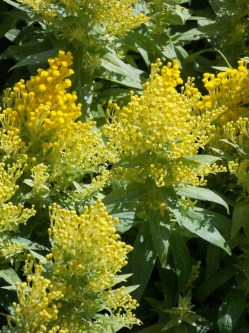 Solidago Golden Thump