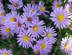 aster-light_blue