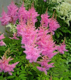 astilbe-gloria-purpurea-