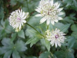 astrantia-major-