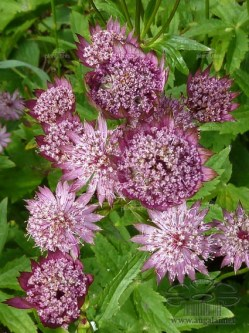 astrantia-major-rubra-