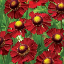 helenium-ruby-tuesday