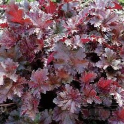 heuchera-chocolate-ruffles