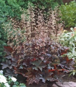heuchera-palace-purple-jpg
