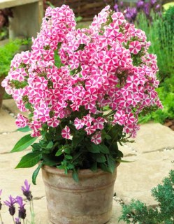 phlox-peppermint-1-400-01 (1)