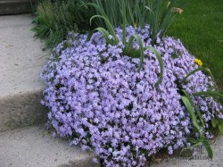 phlox-subulata-emerald-blue