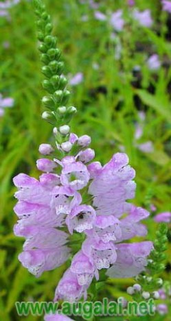 physostegia-virginiana