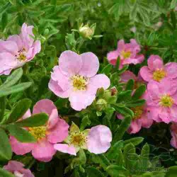 potentilla-princess