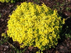 spiraea_japonica_golden_carpet