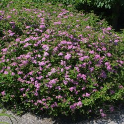 spirea-little-princess