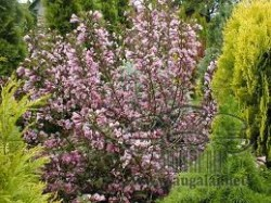 weigela-nana-purpurea